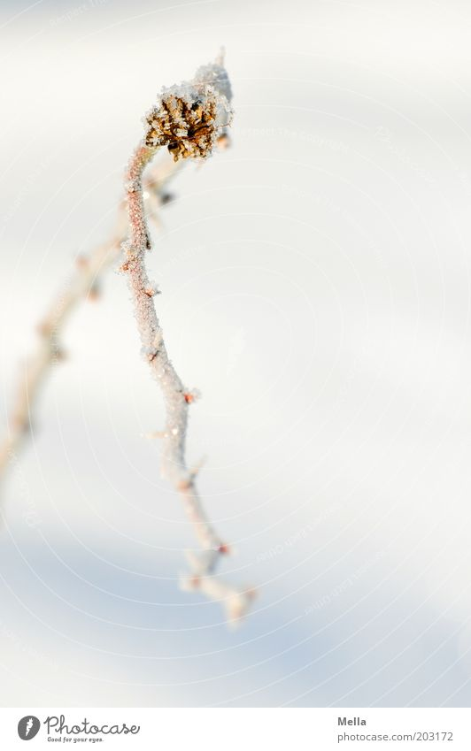 Ich hab da noch .... Umwelt Natur Pflanze Winter Klima Eis Frost Schnee Ast einfach hell kalt natürlich weiß Raureif gefroren Biegung Bogen gekrümmt Farbfoto