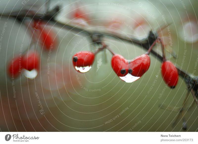 das muss Liebe sein! Natur Pflanze Herbst Klima schlechtes Wetter Regen Sträucher Blüte Wildpflanze Tropfen Wasser weinen frisch grün rot Trauer Zweig Ast