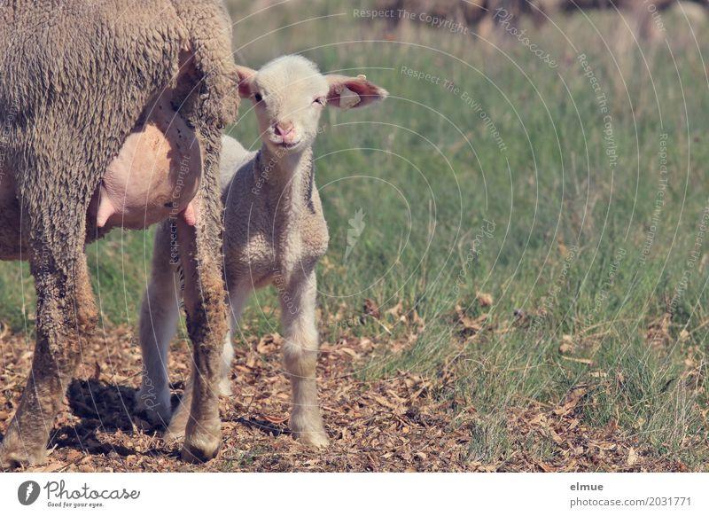 meine! Nutztier Tiergesicht Fell Schaf Lamm Euter Tierjunges Milchbar lammfromm Mutter Mutter mit Kind beobachten Kommunizieren stehen niedlich Lebensfreude