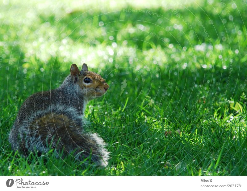 Squirrel at St. James Park Tier Wiese Gras Garten Park wild Zoo Neugier Wildtier sanft Schüchternheit kuschlig Eichhörnchen Tierjunges