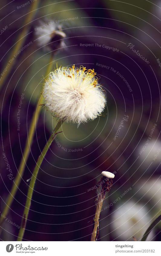 wuschelblume Natur Pflanze Blüte Wildpflanze Blühend verblüht kuschlig lang nah natürlich wild weich braun gelb grün weiß Löwenzahn Stengel Farbfoto