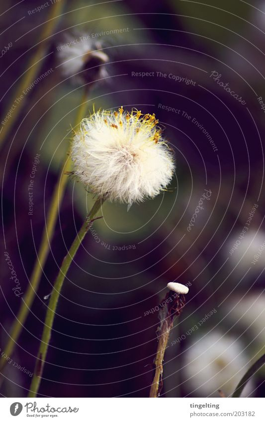 wuschelblume Natur weiß grün Pflanze gelb Blüte braun nah weich wild lang natürlich Stengel Blühend Löwenzahn kuschlig