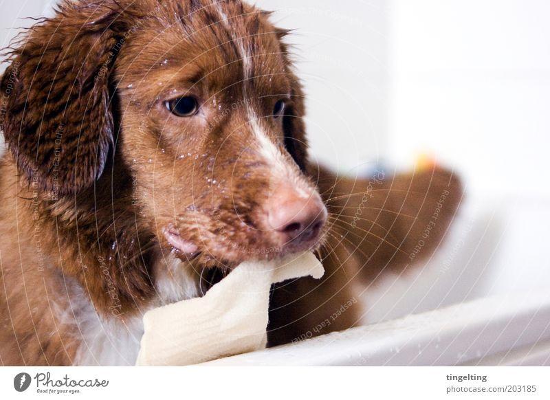 ...und jetzt ein Peeling, bitte! Schwimmen & Baden Tier Haustier Hund 1 Reinigen nass Sauberkeit braun rot weiß Badewanne Fell Schnauze Farbfoto Innenaufnahme