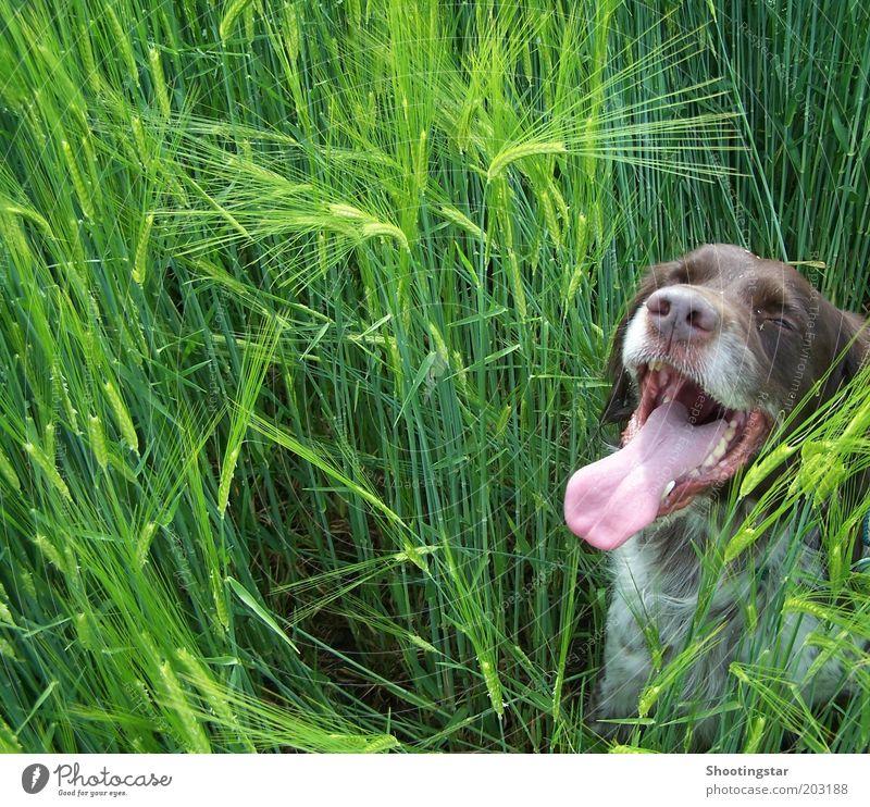 Ein Hund im Kornfeld weiß grün Pflanze Tier Frühling Wärme braun Feld sitzen Pause Tiergesicht lang Haustier Zunge