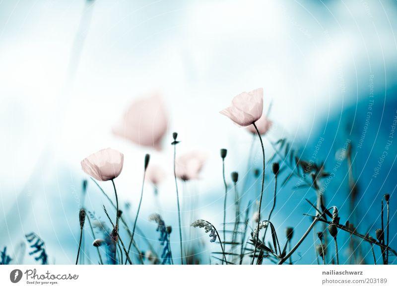 Mohnblumen Umwelt Natur Pflanze Himmel Wolken Sonne Frühling Sommer Blume Blüte Wildpflanze Mohnfeld Mohnblüte Wiese Feld ästhetisch hell Farbfoto mehrfarbig