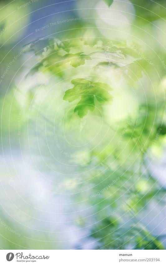 diffus elegant Design Wellness harmonisch ruhig Natur Frühling Sommer Baum Ahornblatt fantastisch positiv blau grün ästhetisch Farbfoto Nahaufnahme Experiment