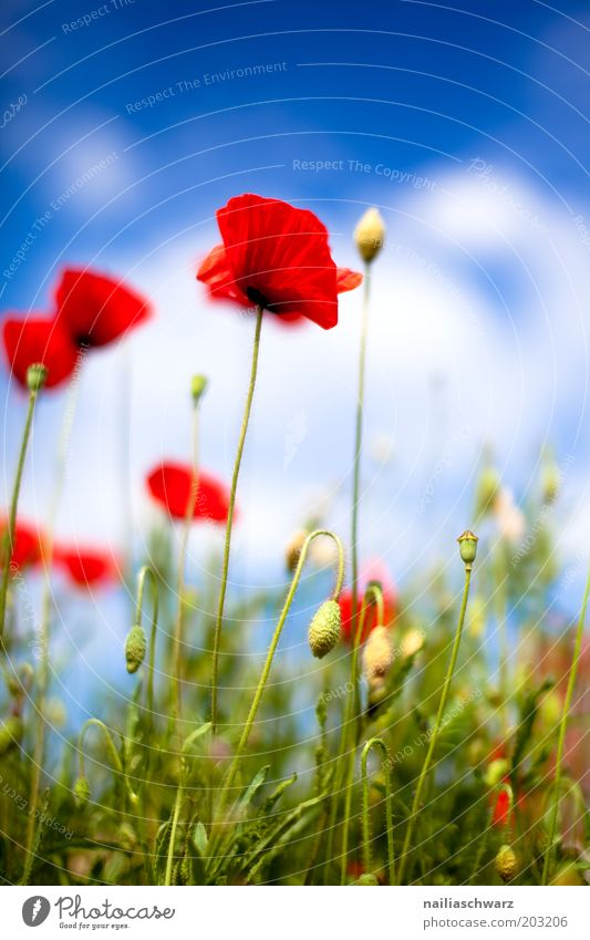Mohnblumen Natur Himmel grün blau Pflanze rot Sommer Wolken Wiese Blüte Gras Frühling Feld Umwelt ästhetisch