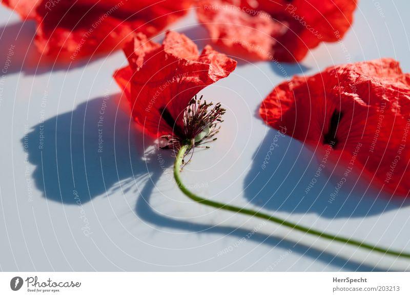 Kaputt Pflanze Blume Blüte Mohn Blütenblatt alt rot schwarz weiß schön Vergänglichkeit zart verblüht kaputt Stengel Farbfoto Außenaufnahme Nahaufnahme