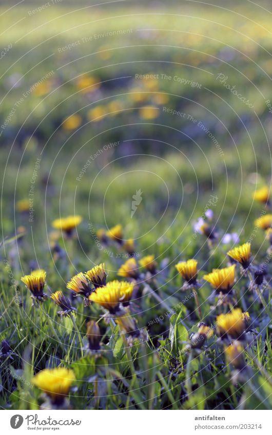 Löwenzahn Natur schön Blume grün Pflanze Sommer gelb Wiese Blüte Gras Frühling Park frisch Wachstum Rasen Unendlichkeit