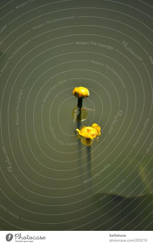 2 Teichrosen für John Natur Pflanze Wasser Frühling Sommer Schönes Wetter Blume Blüte Wildpflanze Seeufer Flussufer außergewöhnlich schön gelb grün Seerosen