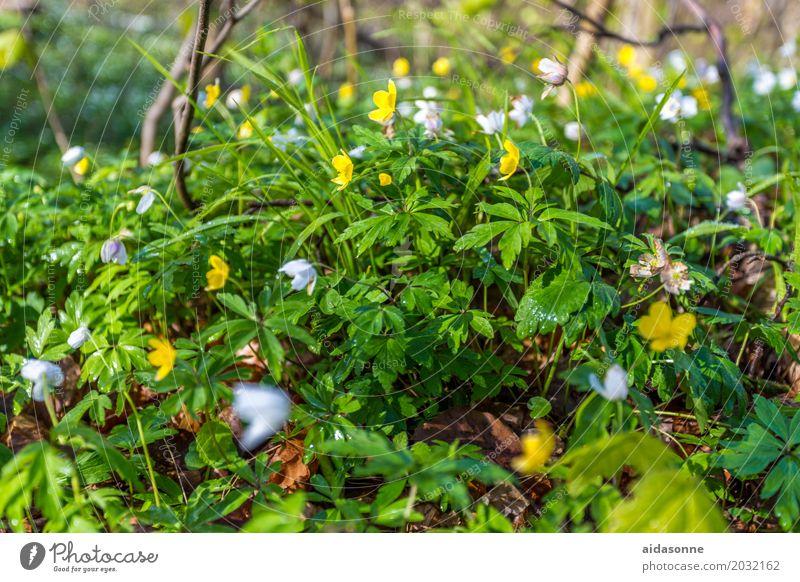 frühling Pflanze Blume ruhig Wald Frühling Gefühle Zufriedenheit Schönes Wetter Lebensfreude Gelassenheit geduldig Frühlingsgefühle Sumpf-Dotterblumen