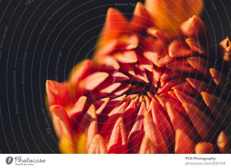 Makroblume Pflanze Blatt Blüte Wildpflanze Garten Park Wiese Feld Farbe Glück Dahlien Gartenblume Makroaufnahme rot orange Blume Blumenstrauß Blütenkelch
