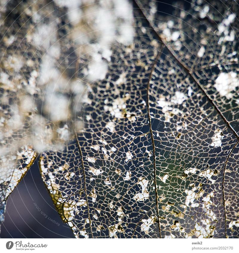 Gewesen alt Blatt klein authentisch fantastisch Vergänglichkeit Zusammenhalt trocken nah dünn Verfall durchsichtig bizarr Zerstörung Blattadern zerbrechlich