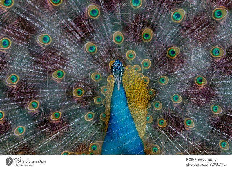 Pfau Tier Wildtier Vogel Zoo 1 blau gelb gold grün türkis Pfauenfeder Wildpark Pfauenauge Bauernhof Farbfoto Außenaufnahme Zentralperspektive