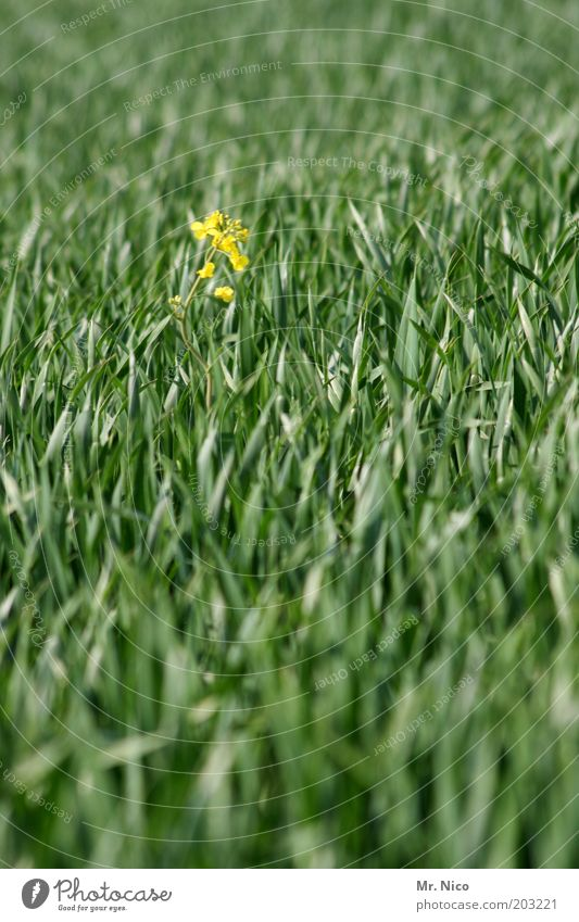 Einzelkämpfer Natur grün Pflanze Sommer gelb Frühling Feld Umwelt Wachstum Getreide Raps Weizen Frühlingsgefühle Gras Nutzpflanze Weizenfeld