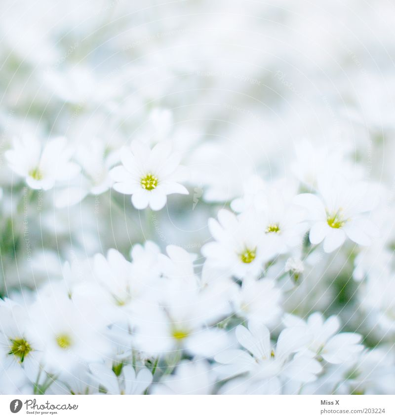 Bettsacherla Garten Pflanze Frühling Blume Blüte Wiese Blühend Duft hell weiß Reinheit rein Farbfoto Gedeckte Farben Außenaufnahme Nahaufnahme Muster
