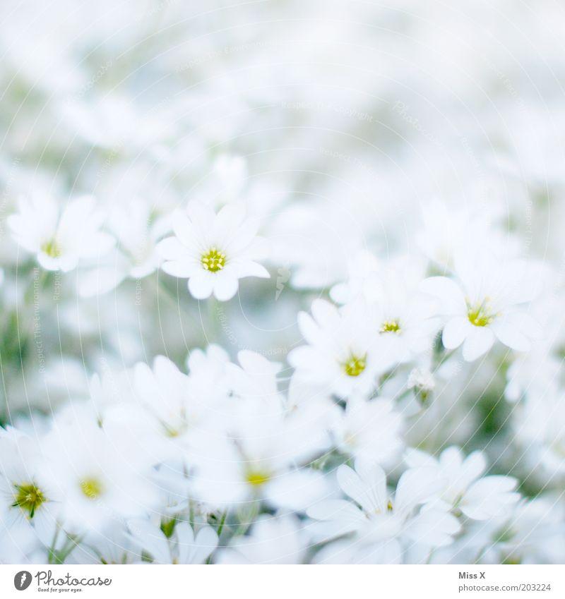 Bettsacherla weiß Blume Pflanze Wiese Blüte Frühling Garten hell rein Blühend Duft Reinheit Muster