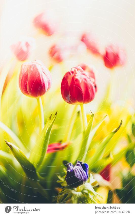 Tulpenstrauß I Sommer grün Blume rot Blatt Blüte Frühling Liebe Wiese Garten rosa Wachstum Blühend Geschenk violett Blumenstrauß