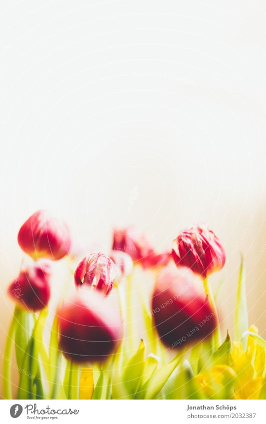 Tulpenstrauß II Sommer Garten Frühling Blume Blatt Blüte Wiese Blumenstrauß Liebe Wachstum grün violett rosa rot Geschenk Vor hellem Hintergrund Blühend Farbe