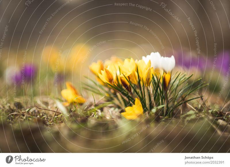 Frühlingswiese XII Sommer Blume Erholung gelb Blüte Wiese klein Garten rosa Wachstum Blühend Romantik violett Krokusse Erfurt