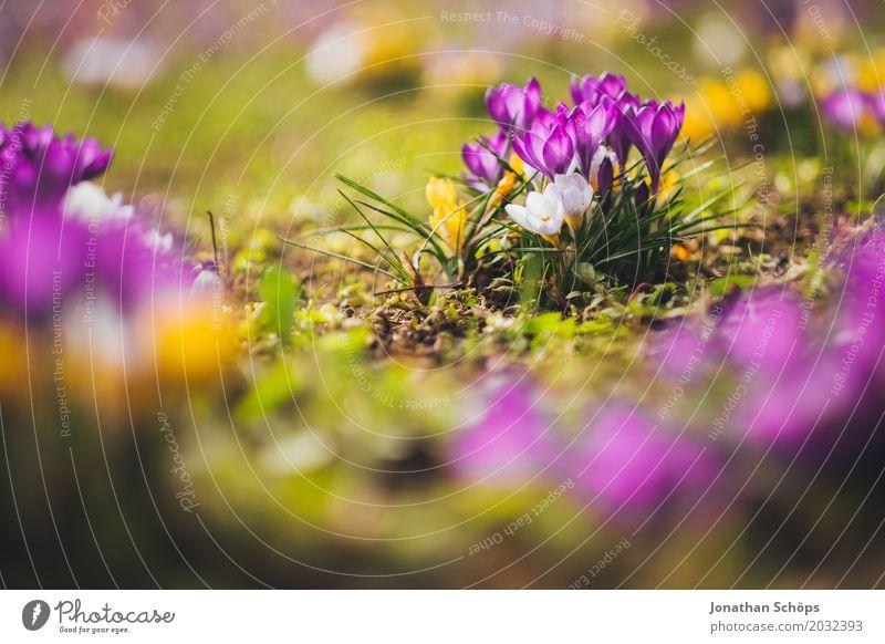 Frühlingswiese XIII Erholung Sommer Garten Blume Blüte Wiese Wachstum klein gelb violett rosa Erfurt Klein Venedig Klein-Venedig Erfurt Thüringen Krokusse