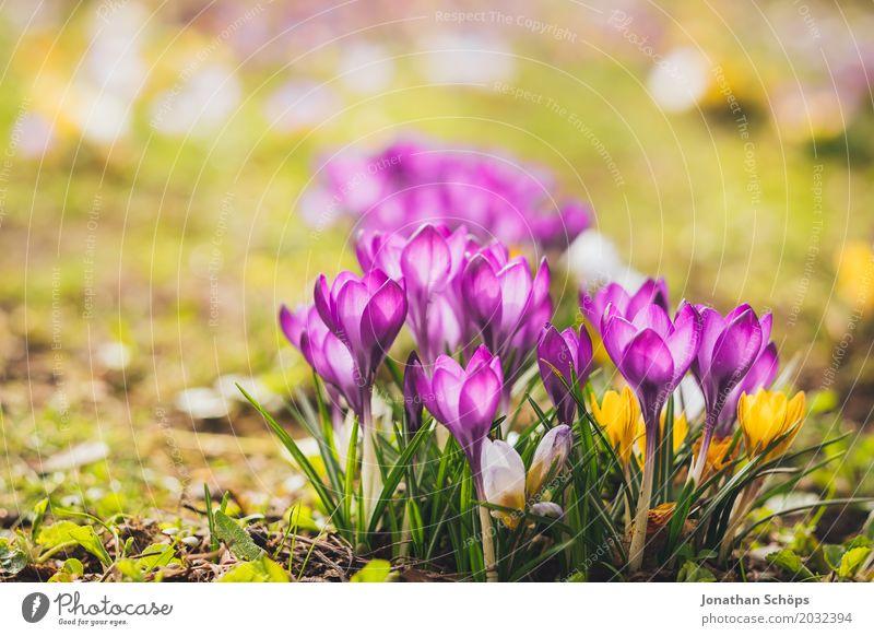 Frühlingswiese XIV Erholung Sommer Garten Blume Blüte Wiese Wachstum klein gelb violett rosa Erfurt Klein Venedig Klein-Venedig Erfurt Thüringen Krokusse
