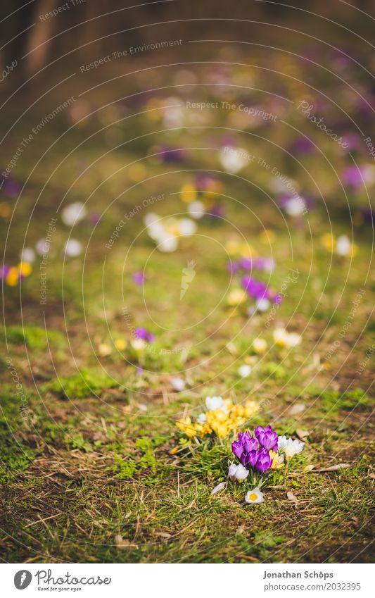 Frühlingswiese IV Sommer Blume Erholung gelb Blüte Wiese klein Garten rosa Park Wachstum violett Krokusse Erfurt Thüringen