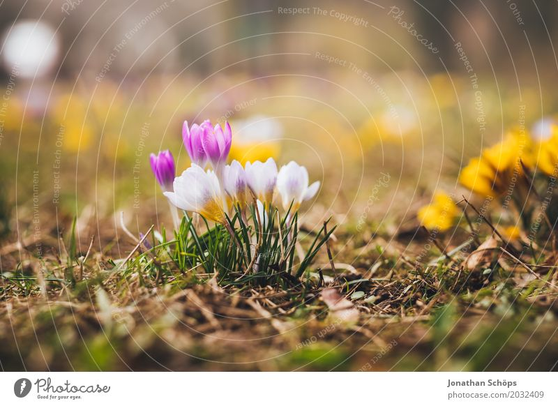 Frühlingswiese V Sommer Blume Erholung gelb Blüte Wiese klein Garten rosa Wachstum Blühend violett Krokusse Erfurt Thüringen