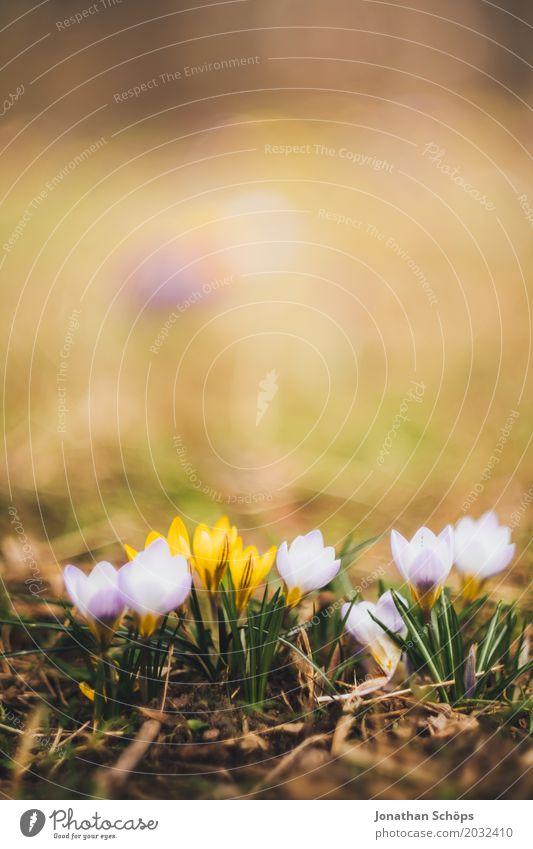 Frühlingswiese VI Sommer Blume Erholung gelb Blüte Wiese klein Garten rosa Wachstum Blühend Romantik violett verträumt Krokusse