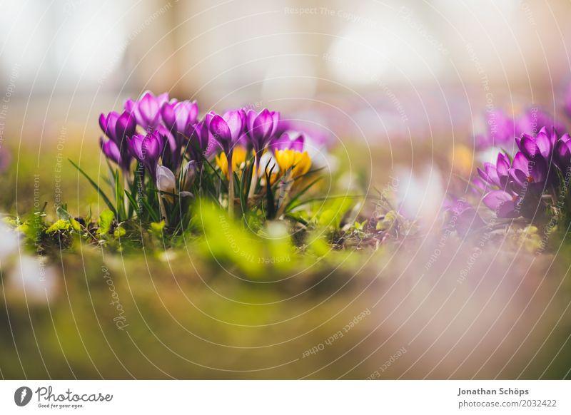 Frühlingswiese VIII Sommer Blume Erholung gelb Blüte Wiese klein Garten rosa Wachstum Romantik violett Krokusse Erfurt Thüringen
