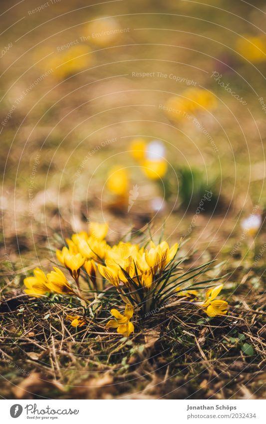 Frühlingswiese XV Erholung Sommer Garten Blume Blüte Wiese Wachstum klein gelb violett rosa Erfurt Klein Venedig Klein-Venedig Erfurt Thüringen Krokusse Blühend