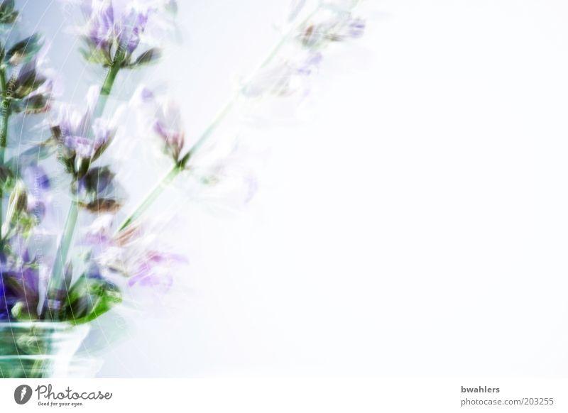 Salbei Pflanze Blume Blüte Nutzpflanze Duft grün violett Blumenstrauß Kräuter & Gewürze Blumenvase Salbeiblüten Farbfoto Innenaufnahme Nahaufnahme Tag High Key