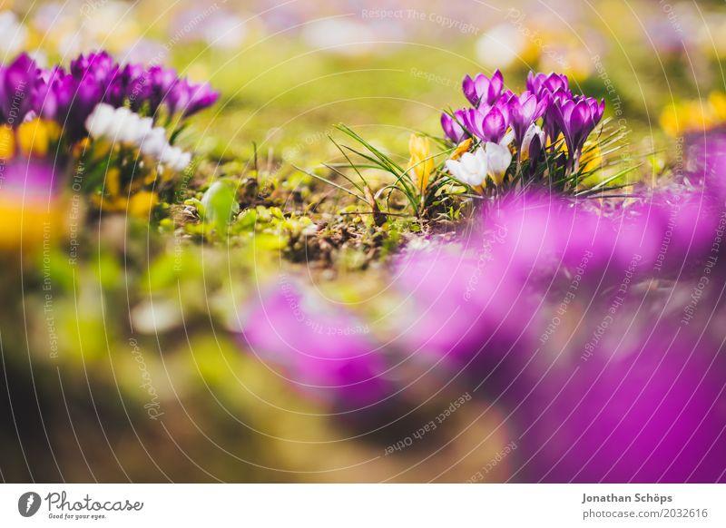 Frühlingswiese X Erholung Sommer Garten Blume Blüte Wiese Wachstum klein gelb violett rosa Erfurt Klein Venedig Klein-Venedig Erfurt Thüringen krokuss Krokusse