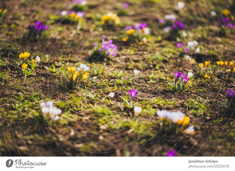 Frühlingswiese II Erholung Sommer Garten Blume Blüte Park Wiese Wachstum gelb violett rosa Freude Fröhlichkeit Zufriedenheit Lebensfreude Frühlingsgefühle