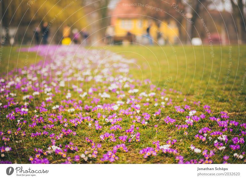 Frühlingswiese III Erholung Sommer Haus Garten Blume Blüte Park Wiese Wachstum klein viele gelb violett rosa Idylle Blumenmeer Blumenteppich Ente Erfurt