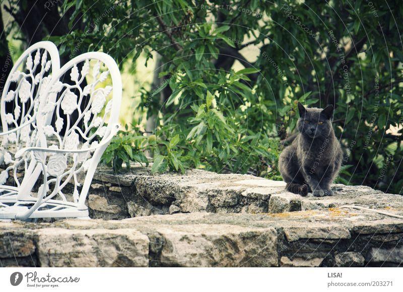 pume Natur weiß Baum grün Pflanze Sommer schwarz Tier Garten grau Mauer Katze braun sitzen Stuhl Ohr