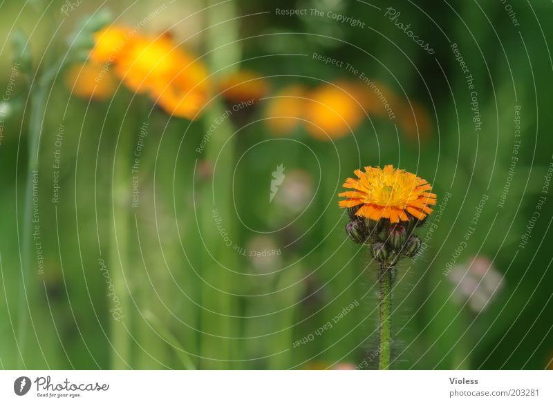 Habichtskraut Natur Pflanze Blume Blüte Wildpflanze frisch Wolliges Habichtskraut Orange Farbfoto Wiese Blühend Menschenleer