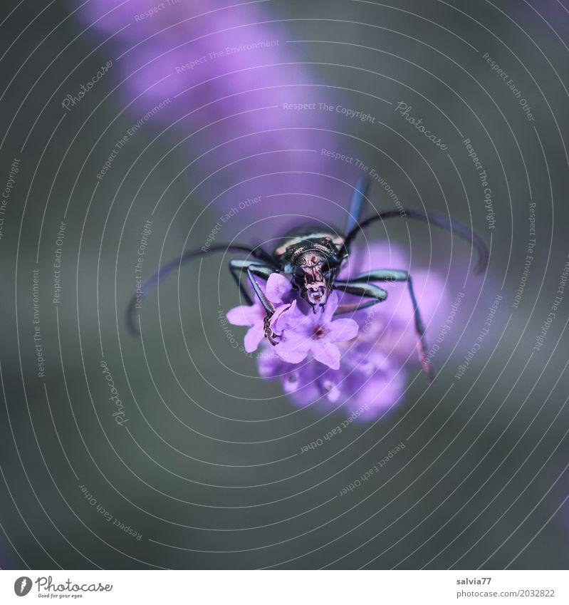 nach oben Natur Pflanze Tier Blume Lavendel Garten Käfer Tiergesicht Moschusbock Insekt Blühend Duft krabbeln violett Fühler Farbfoto Außenaufnahme