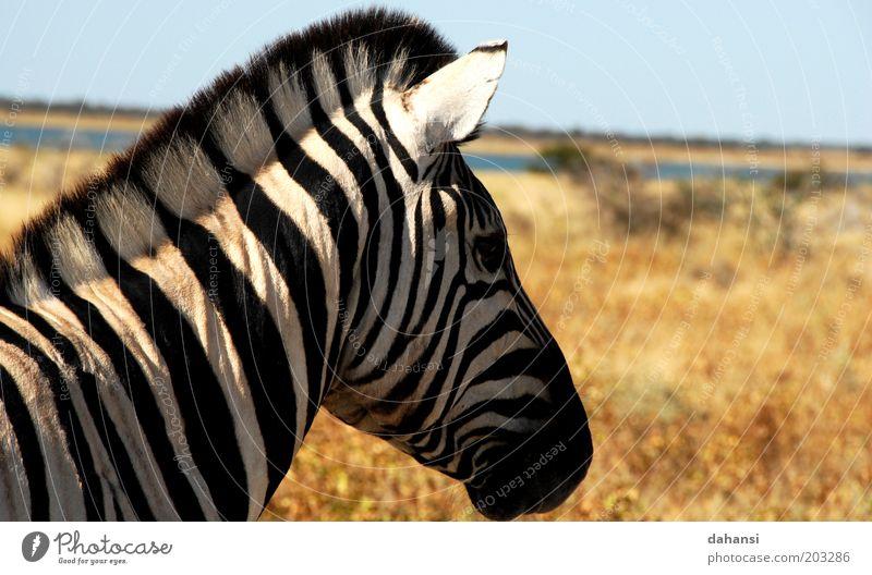 Black & White Ausflug Safari Expedition Jagd Natur Landschaft Wärme Dürre Savanne Tier Wildtier Tiergesicht Fell Zebra 1 warten schwarz weiß ruhig