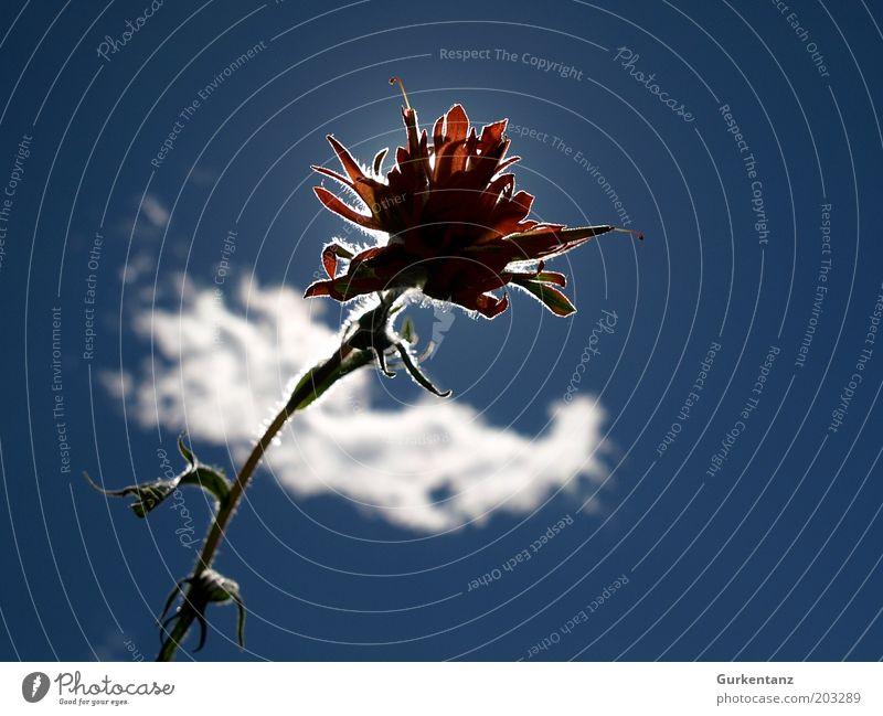 Skyflower schön Himmel Sonne Blume blau Pflanze rot Wolken Blüte ästhetisch einzigartig natürlich Idylle Blühend leuchten Schönes Wetter