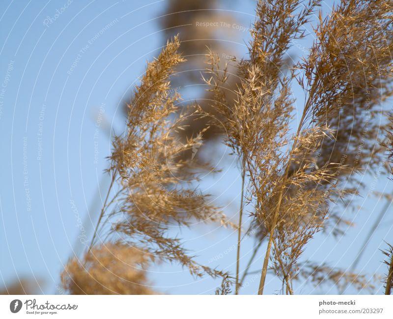 vom winde verw..... Natur Himmel blau Pflanze Sommer Strand gelb Gras Bewegung Wärme hell braun Küste Wind weich dünn