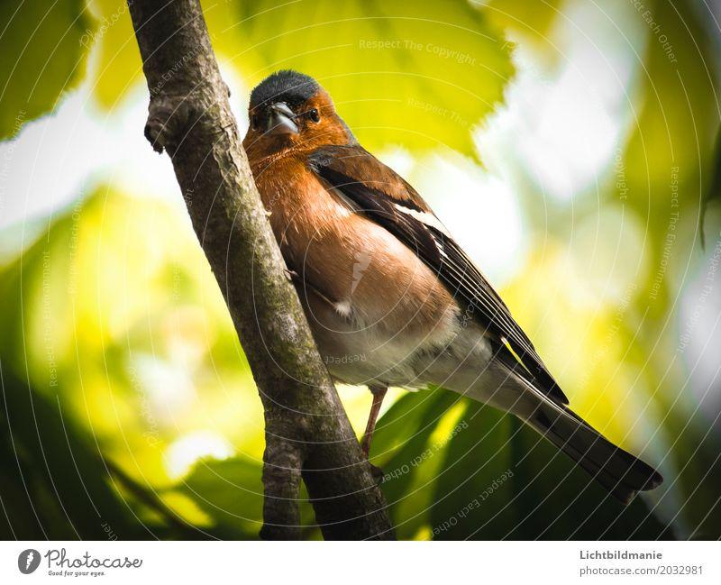 Herr Buchfink Ausflug Freiheit Garten Umwelt Natur Pflanze Tier Baum Blatt Buche Buchenwald Buchenblatt Wald Wildtier Vogel Flügel Krallen Fink heimisch 1