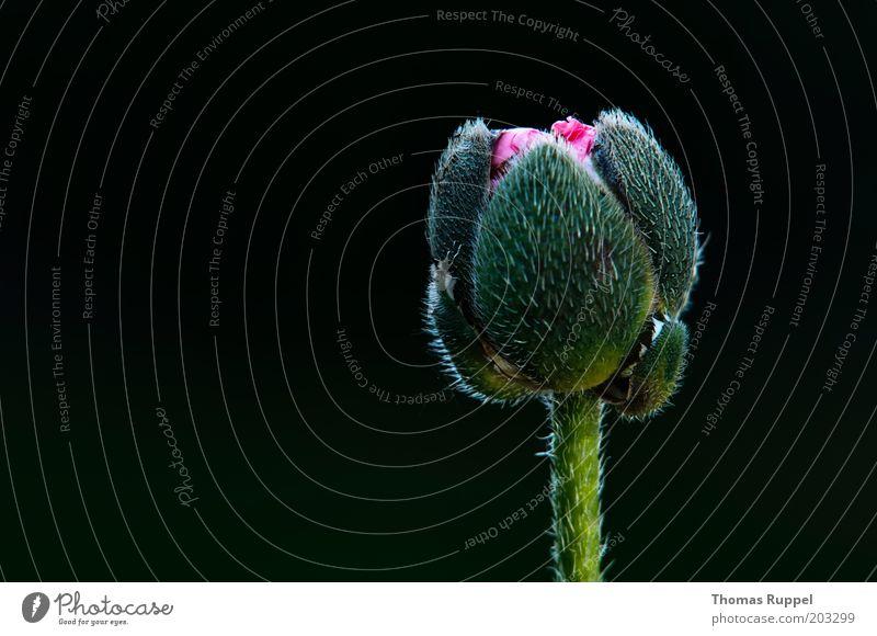 Rosa Mohn schön Blume grün Pflanze schwarz Blüte rosa Beginn neu Mohnblüte Wildpflanze Mohnkapsel