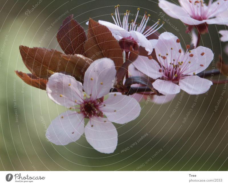 Wildpflaumenblüte