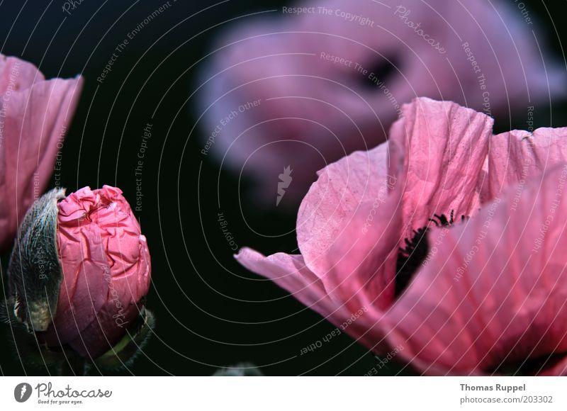 Mohn Pflanze Blume Blüte Mohnblüte Mohnkapsel Mohnblatt schön grün rosa schwarz Farbfoto mehrfarbig Außenaufnahme Nahaufnahme Detailaufnahme Menschenleer Abend