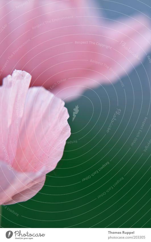 100 !!!! Mohn Pflanze Blume Blüte Wildpflanze Mohnblüte schön blau grün rosa Farbfoto mehrfarbig Außenaufnahme Nahaufnahme Detailaufnahme Menschenleer
