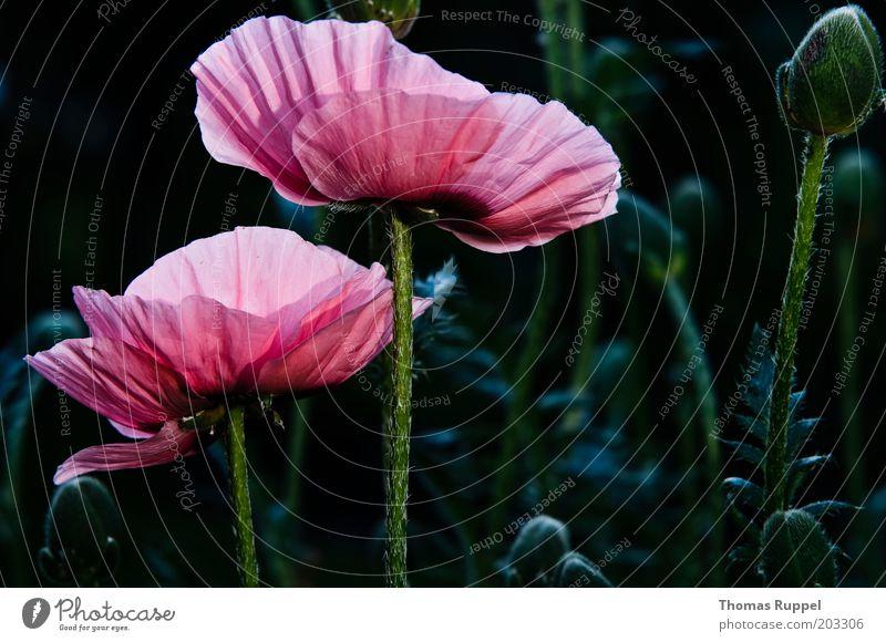 Und noch mal Mohn schön Blume grün Pflanze schwarz Blüte rosa Blühend Grünpflanze Licht Blitzlichtaufnahme Mohnblüte Mohnfeld