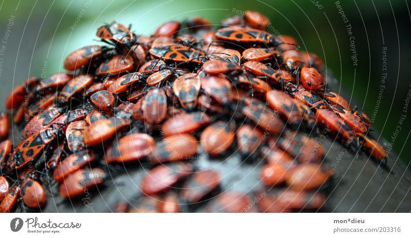 Wanzentreff rot Tier schwarz Bewegung Zusammensein Freundschaft wild frei ästhetisch Tiergruppe bedrohlich Lebewesen Unendlichkeit viele nah Insekt