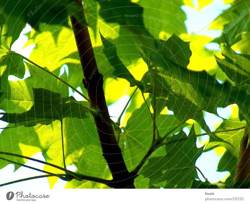 Blätter Blatt Baum Ahorn grün blau