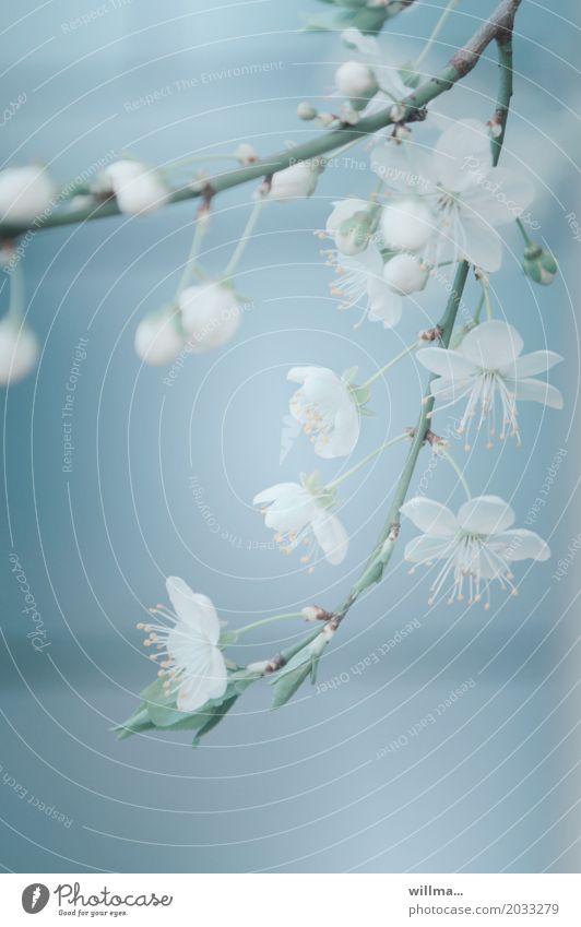 Kirschblüten Zweig Frühling Blüte Blütenzweig Blühend hell-blau zart